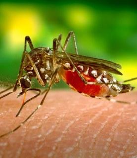 Dengue capa